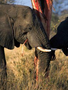 Elephants eating_ (Loxodonta Africana) (Kruger National Park 2002) Słonie Afrykańskie jedzące korę drzewa. [źródło zdjęcia].