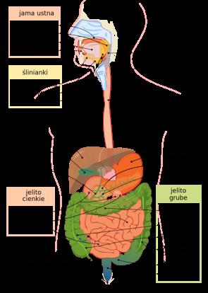 [Schemat układu pokarmowego człowieka- źródło zdjęcia].