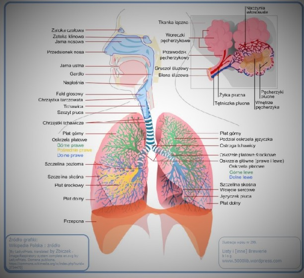 [Układ oddechowy człowieka, źródło zdjęcia].